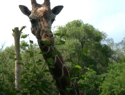 I love giraffe colouring.