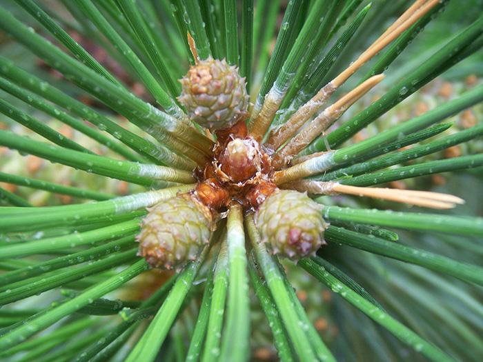 New pinecones.