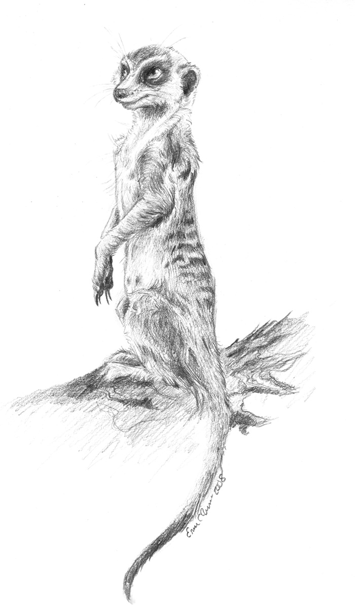 Meerkat in graphite. I hate how scanners eat detail. :|