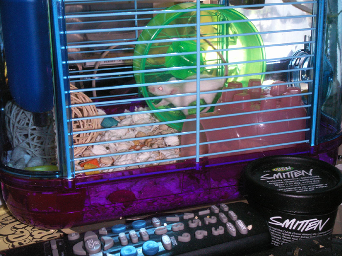 Christa running in her wheel. Sadly, it seems that Lenore was sick or old, and so she died soon after I got her. I miss the little brat. :(