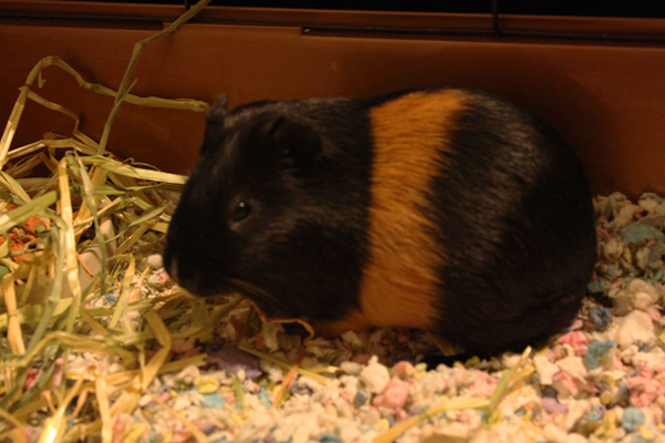 Mice don't live long enough. :( I decided to get a guinea pig this time. He's really sweet... but doesn't have a name yet!