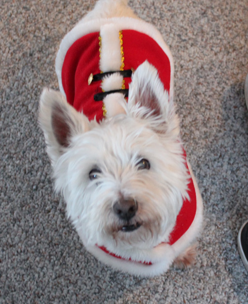 On Christmas Morning, the Santa Westie comes down your chimney, leaving undesirable presents all over your carpet.